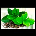 екстракт от зелен чай